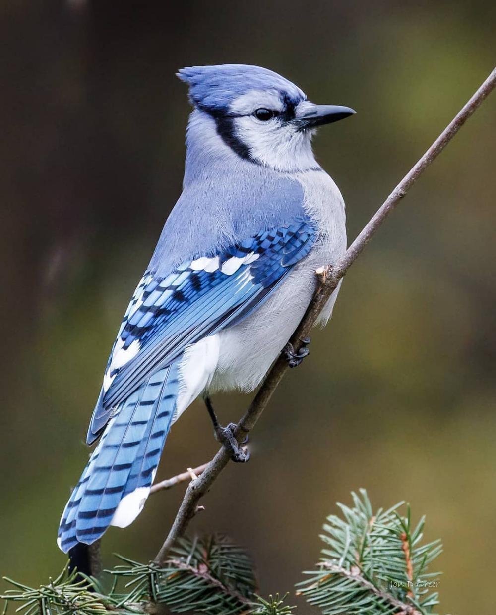 Bluejay Blue Jay Blue Jay Bird Beautiful Birds