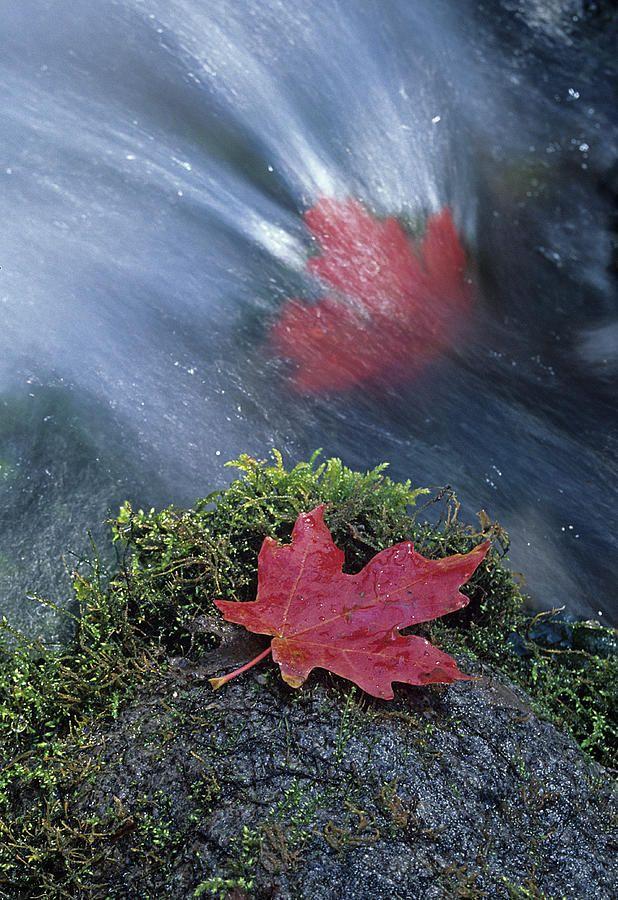 ✯ Maple Leaves