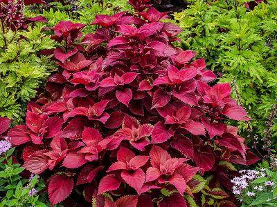 Kwiaty Balkonowe Cieniolubne Koleus Easy Perennials Shade Garden Plants Perennials