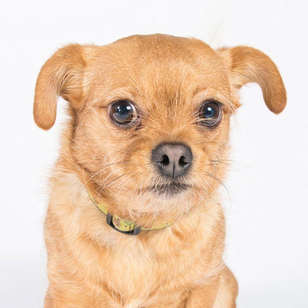 Chussel dog for Adoption in St. Louis Park, MN. ADN494255