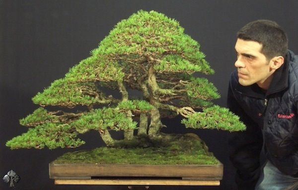 Pinus Silvestris, by Stefano Frisoni - This tree is remarkably realistic, a character highly valued for Bonsai trees. As you can see, the foliage pads are very dense, as if it were clouds in the sky