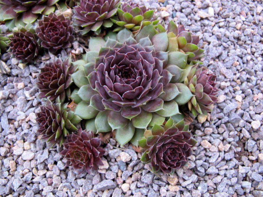 Zero Scape, Garden Landscaping, Landscaping Ideas, Succulent Plants, Cacti,  Hens And Chicks, Garden Care, Desert Landscape, Drought Tolerant