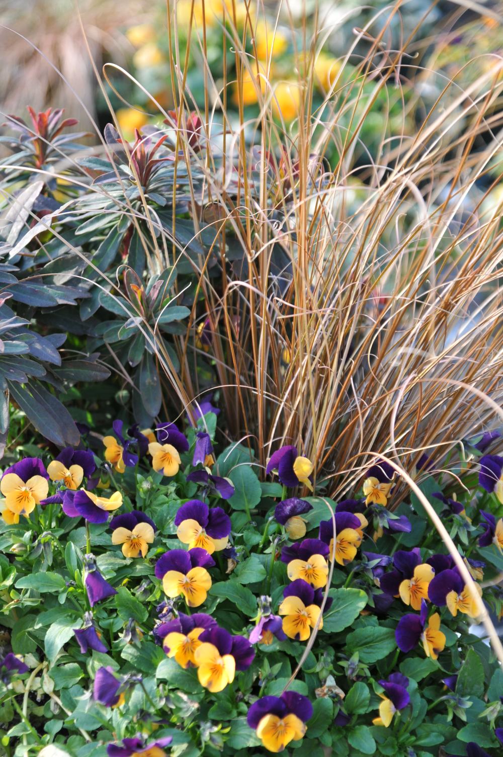 Les superbes jardinières d'automne! Plante pour