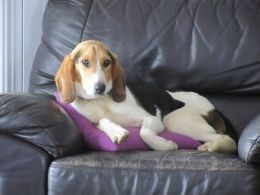 Beautiful Beano Beagle Mix Wants His Own Family Beagle Mix Beagle Cute Animals