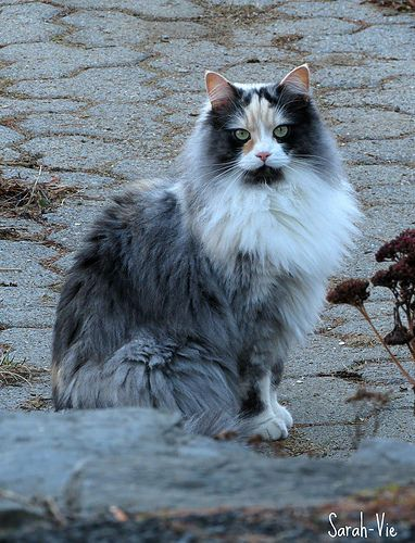 Pin On Norwegian Forest