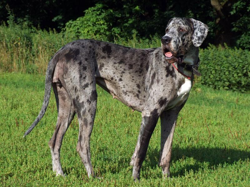 Great Dane Patient And Friendly Dane Dog Dog Personality