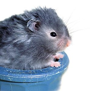 Long Haired Hamster Long Haired Hamster Cute Small Animals Hamster