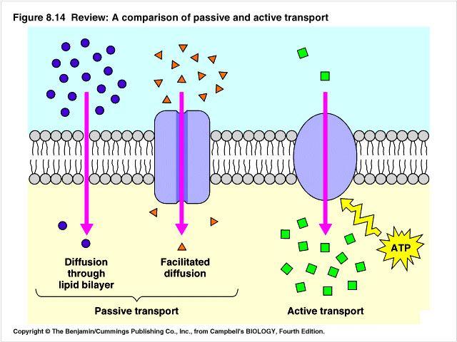 Diffusion | Cell transport, Facilitated diffusion, Passive ...