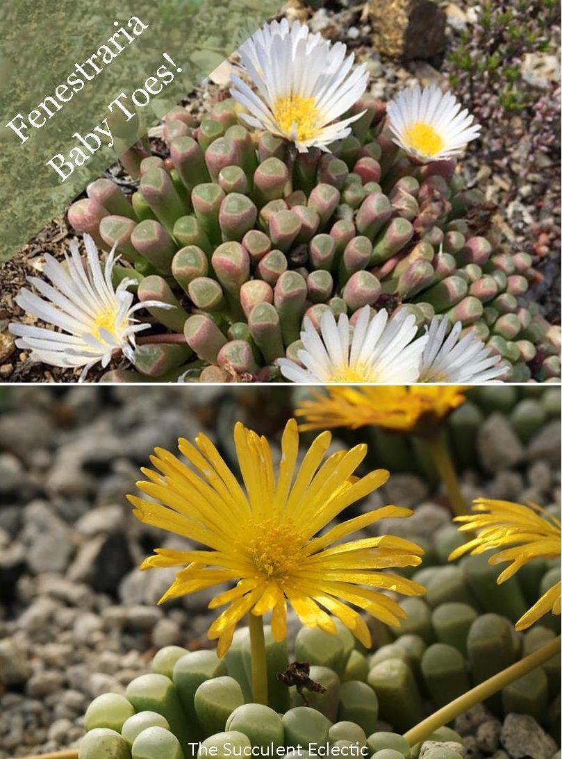 Species Spotlight Fenestraria Baby Toes Succulents Plants Succulent Care
