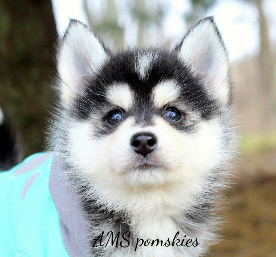 Cypress Puppy For Sale Pomsky Puppies Cute Baby Dogs Puppies
