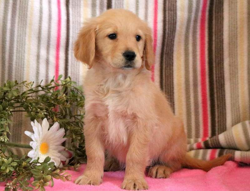 Golden Retriever Puppy For Sale In Mount Joy Pa Adn 71278 On