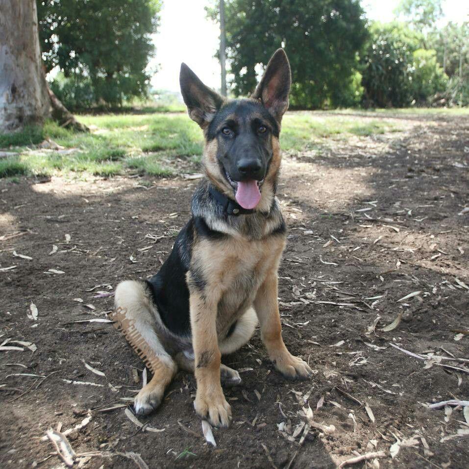 "Max, German Shepherd (4 m/o), Grape St. Dog Park ""I found"