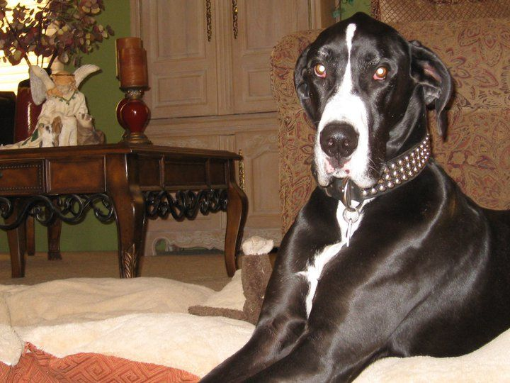 Tucker Our Great Mantel Great Dane Rescued 3 Years Ago Has Been