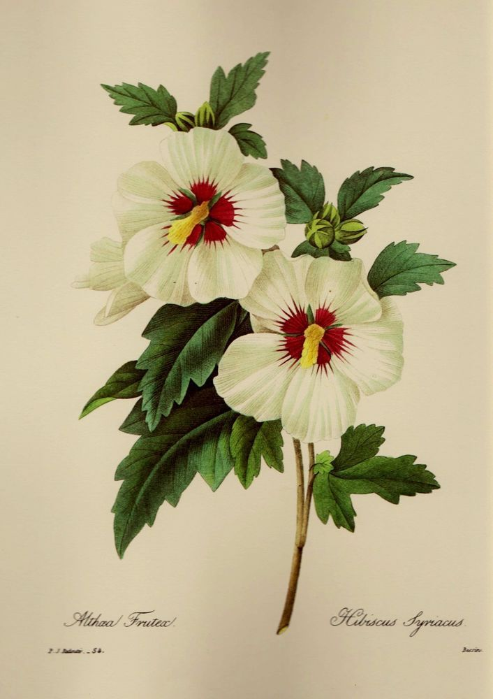 Vintage Botanical White Flower Print Redoute Hibiscus Gallery Wall ...