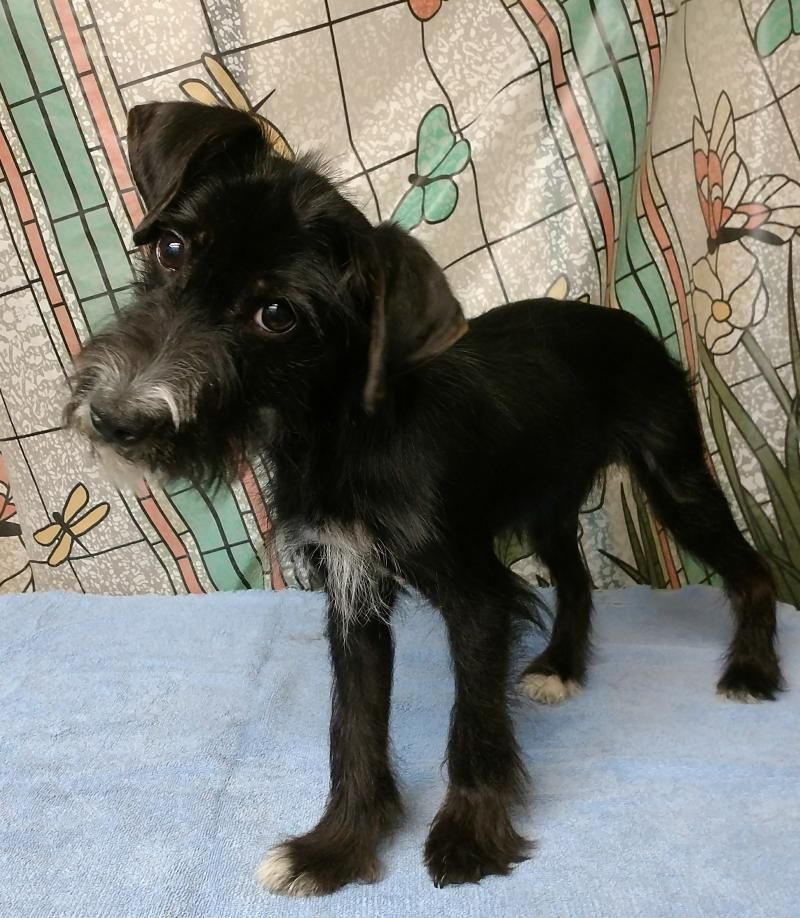 Adopt Beardsley 9851120091154 On Terrier Mix Dogs Rescue Dogs Dogs