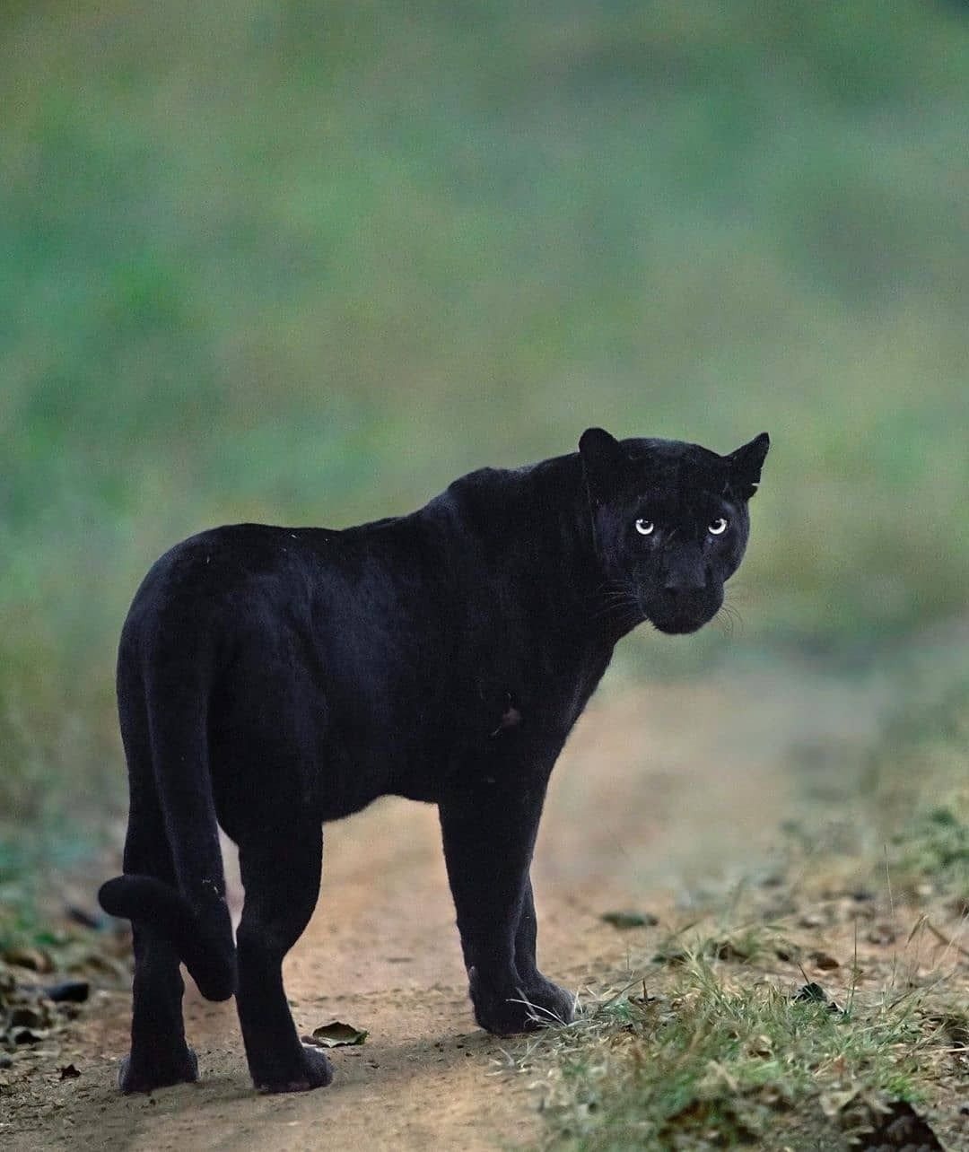 Big Cats WildLife — A mesmerising photo of a Black