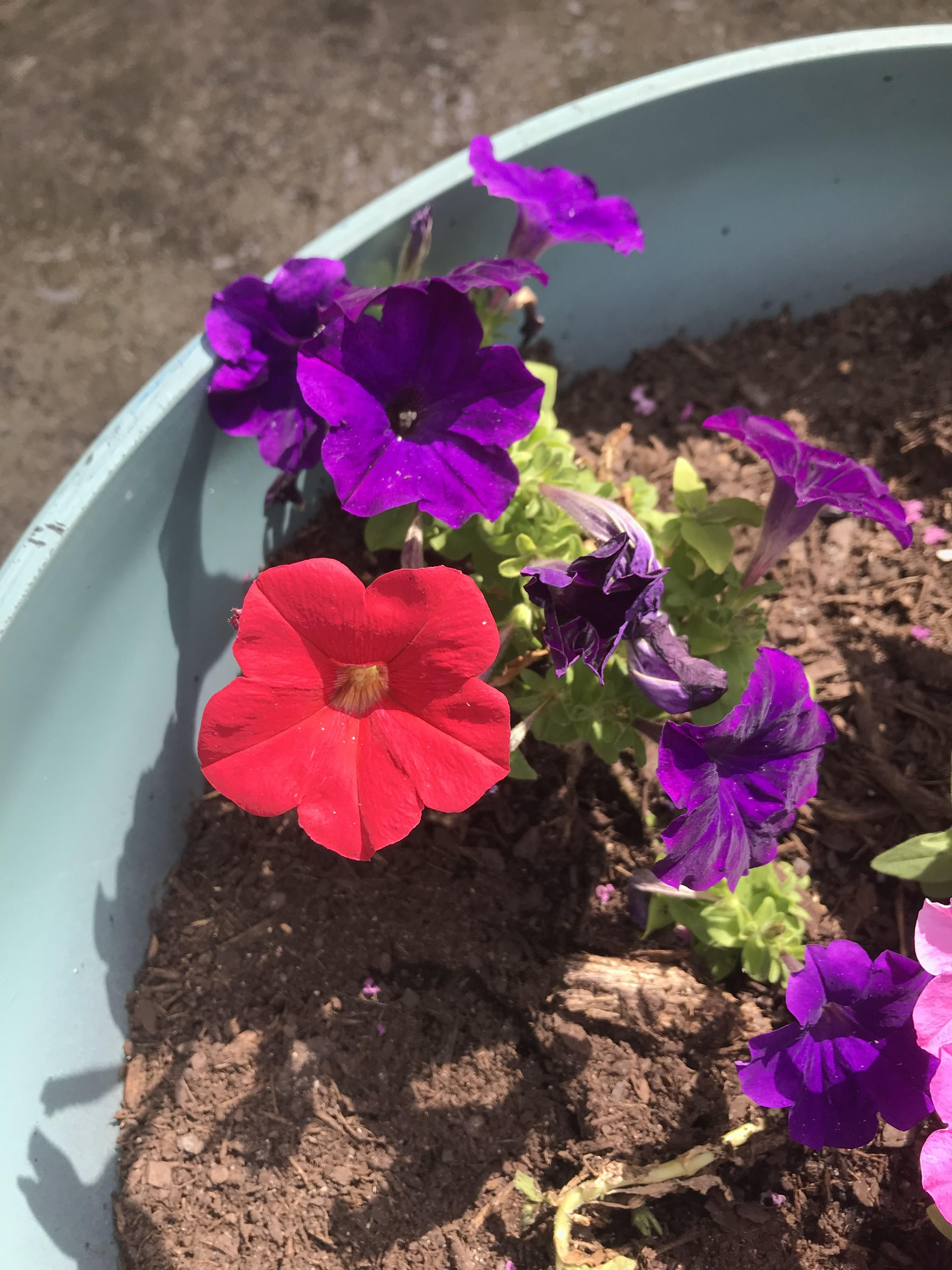 One red petunia snuck in with the purple ones! gardening