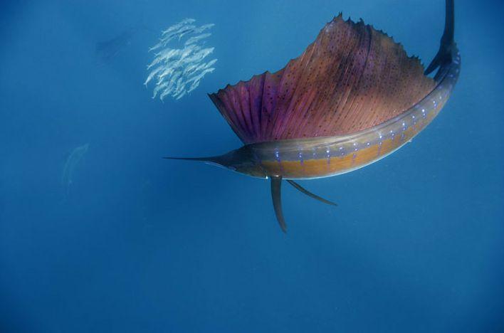 Se você é um amante da pesca esportiva ou da vida marinha não pode deixar de ler este artigo. Com vídeo espetacular no final!