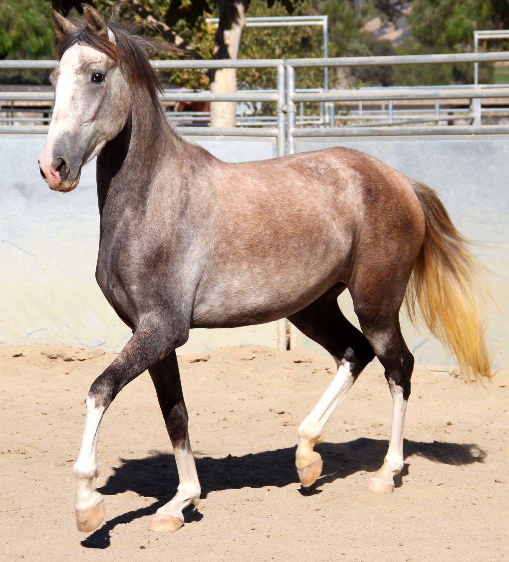 Costa Rican Paso Treasure Of Costa Rica Horses Horses For Sale Beautiful Horses
