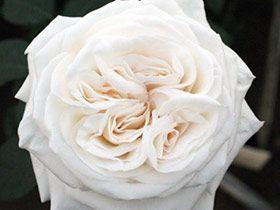 white creamy aurthur rimbaud garden rose