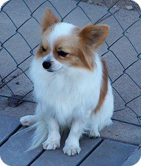 Image Result For Pomeranian Mix Papillon Woof Pinterest