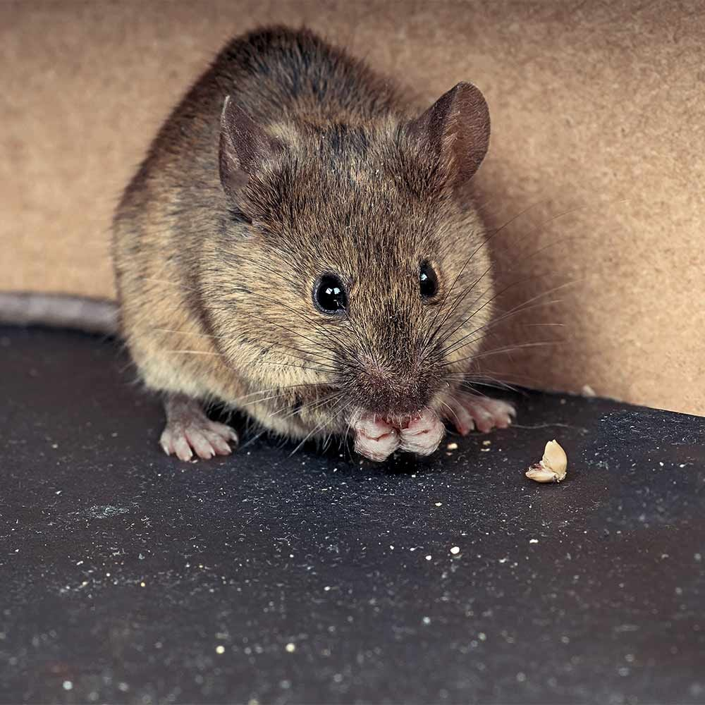 The Best Ways to Trap Mice Pest proofing, Getting rid of