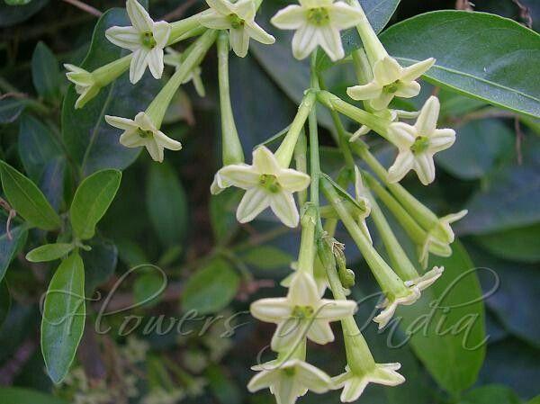 Night-blooming cestrum, Night blooming jasmine, Rat ki rani रात की रानी (Hindi),
