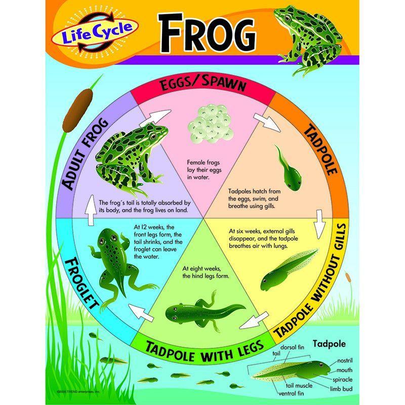 Chart Life Cycle Of A Frog Life Cycles Frog Life
