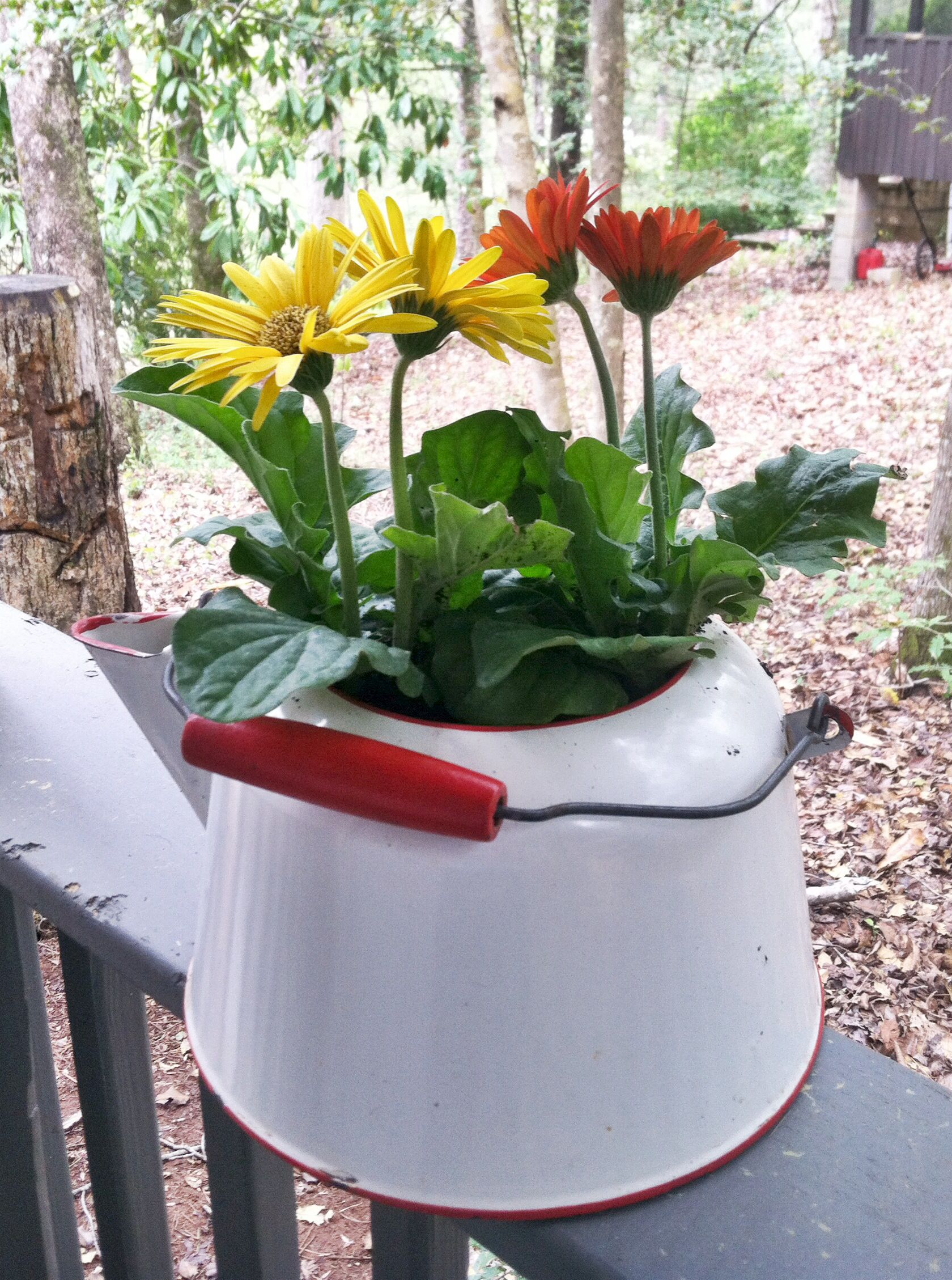 Antique Kettle As Flower Pot Drill Holes In Bottom For Drainage Gerbera Daisies Are Perfect For This Outdoor Flowers Flower Pots Gerbera Daisy