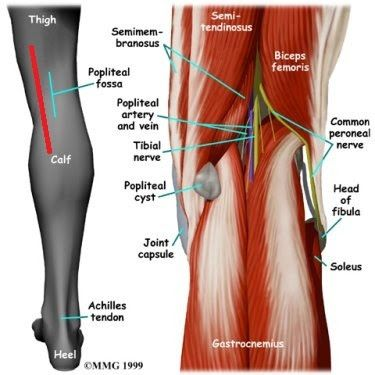 ligaments and tendons of the knee - Google Search