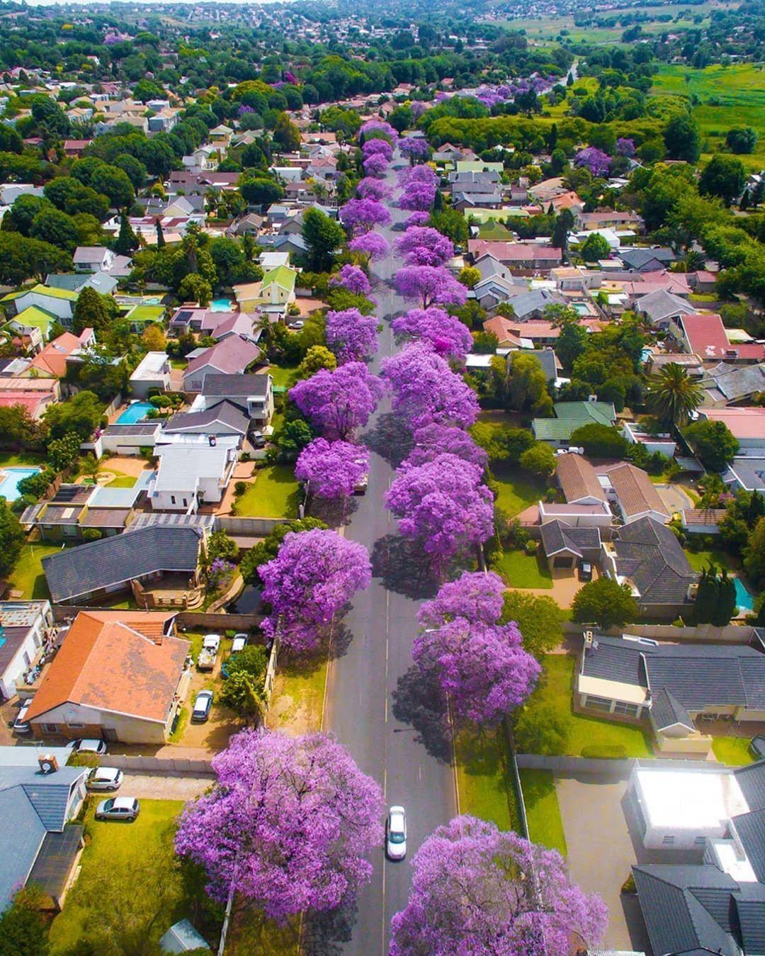 Jacaranda Blooming Trees Johannesburg South Africa Photos By Jacaranda Blooming Trees Johannesburg South Jacaranda Tree Johannesburg Blooming Trees