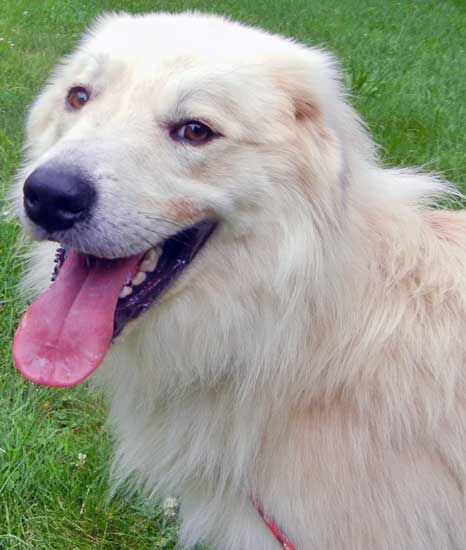 Great Pyrenees Golden Retriever Mixed Long Coat Male