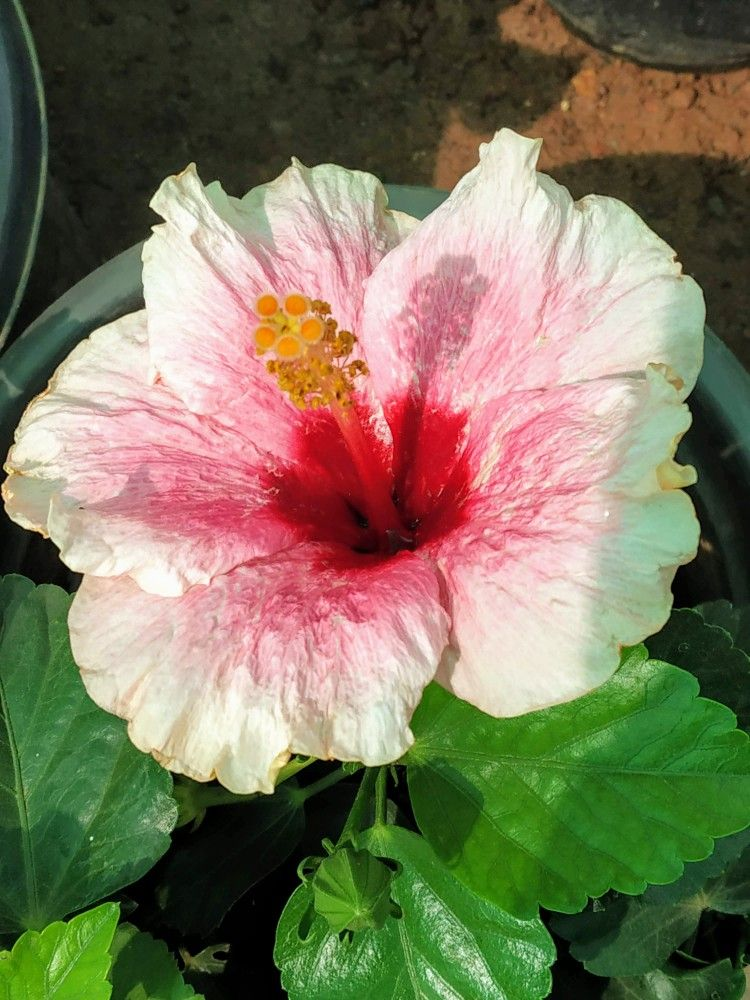 Hibiscus Flower Rare Pink And Red Combination Beautiful Flowers Hibiscus Flowers Rare Pink