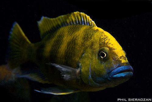Nimbochromis Venustus African Cichlids Lake Malawi Cichlids Malawi Cichlids