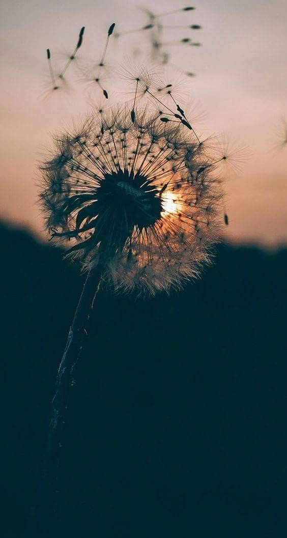 Pin By Lbeigveder On Lugares Dandelion Wallpaper Nature Photography Nature