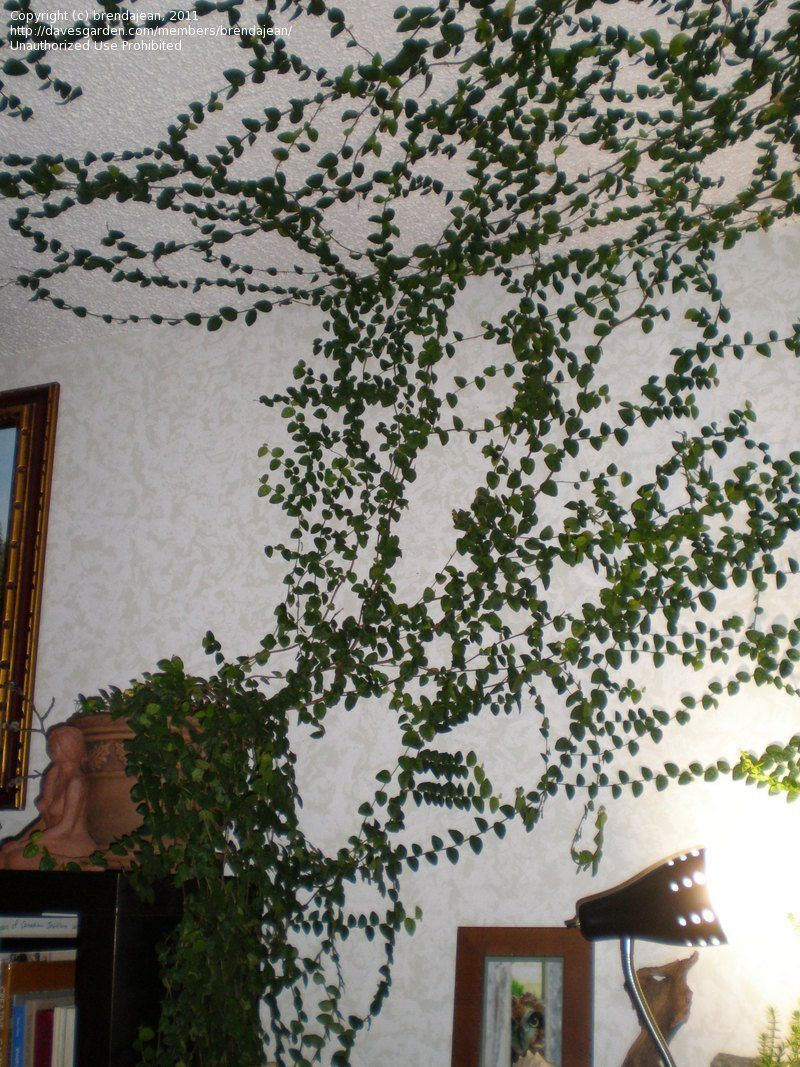a74be4e25aab366498c9eb8dc0849714 - How To Get A Vine To Grow Up A Wall