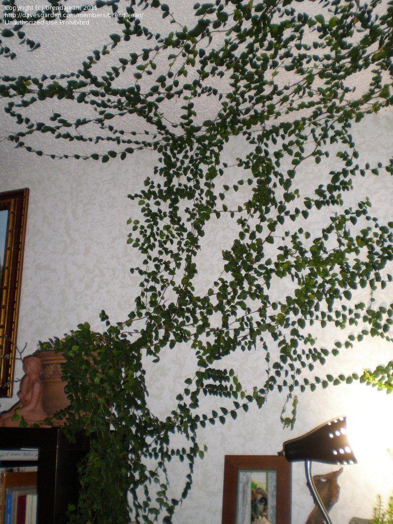 Eye Catching Indoor Climbing Plants Indoor Vines Indoor Climbing Plants Wall Climbing Plants