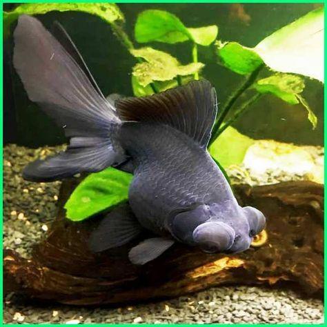 Ikan Koki Terbesar Di Dunia Aneka Ikan Hias