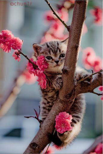 Sweet Kitty #Kitten #KittyInTree #CherryTree #BrownKitten #BlueEyedKitten #Kitten #Cat #BabyAnimals #BabyCat #Paws