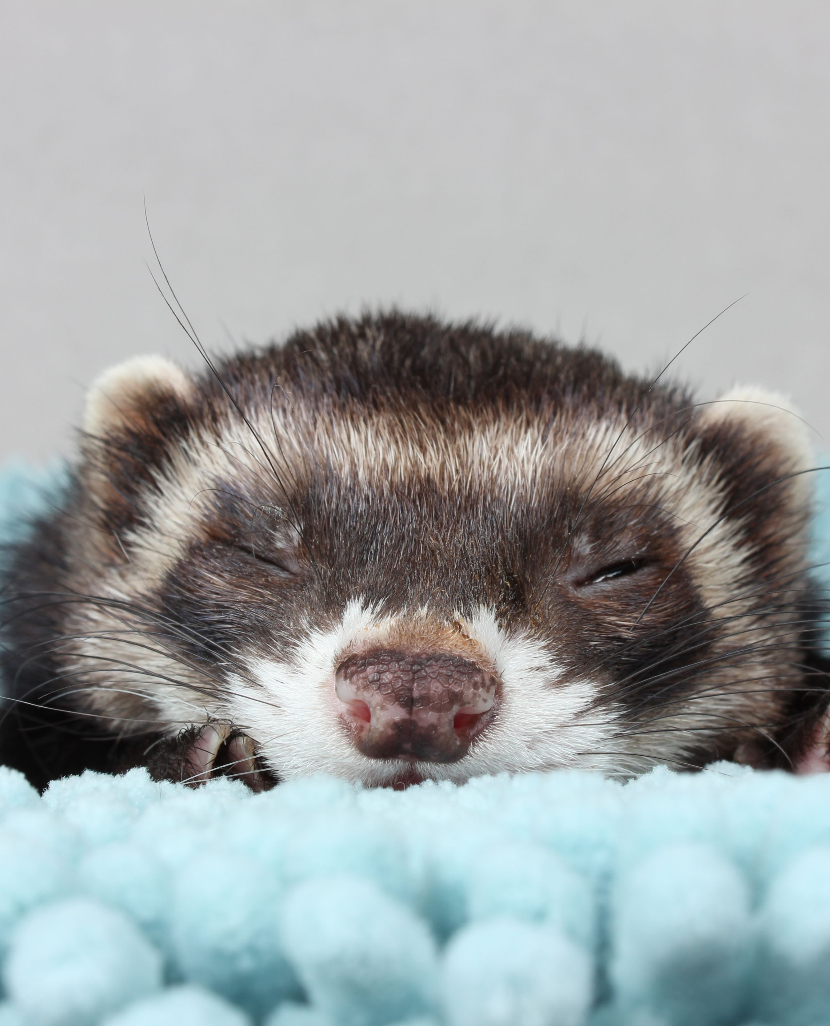 21 Cute Ferret Photos That Will Make You Smile The Modern Ferret Cute Ferrets Ferret Baby Ferrets