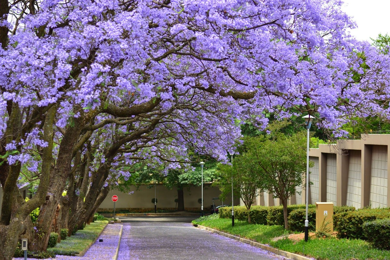 Jacaranda trees jhb south africa flowers pinterest jacaranda trees jhb south africa izmirmasajfo
