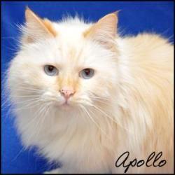 Apollo is an adoptable Ragdoll mix Cat in Birmingham, AL