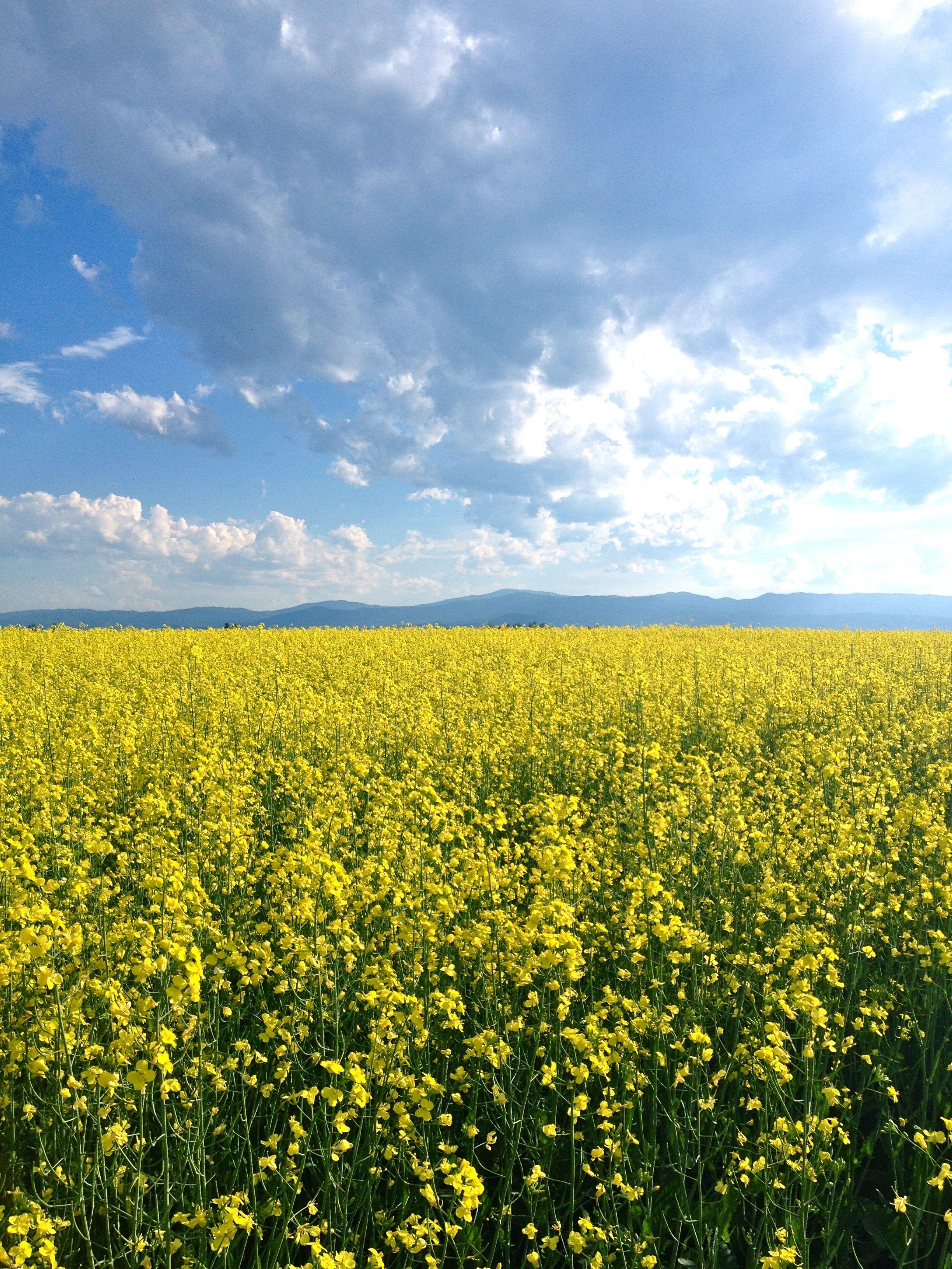 Canola fields in Northwestern Montana