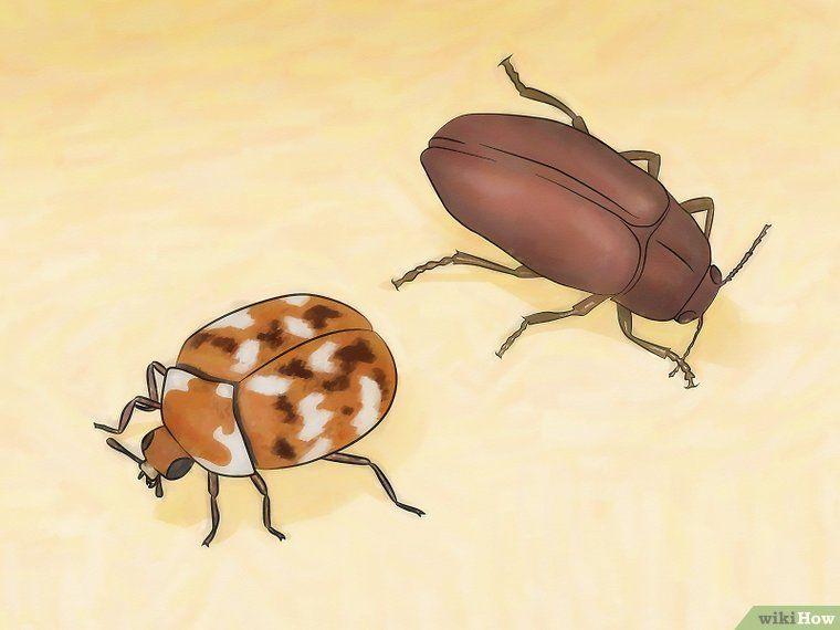 Get Rid Of Carpet Beetles With Images House Beetles Beetle