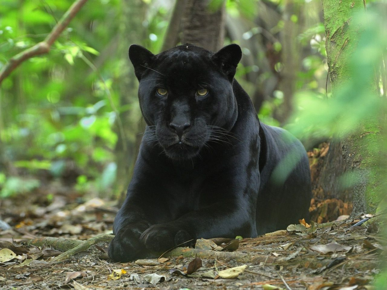 The Black Panther Animals beautiful, Big cats, Beautiful