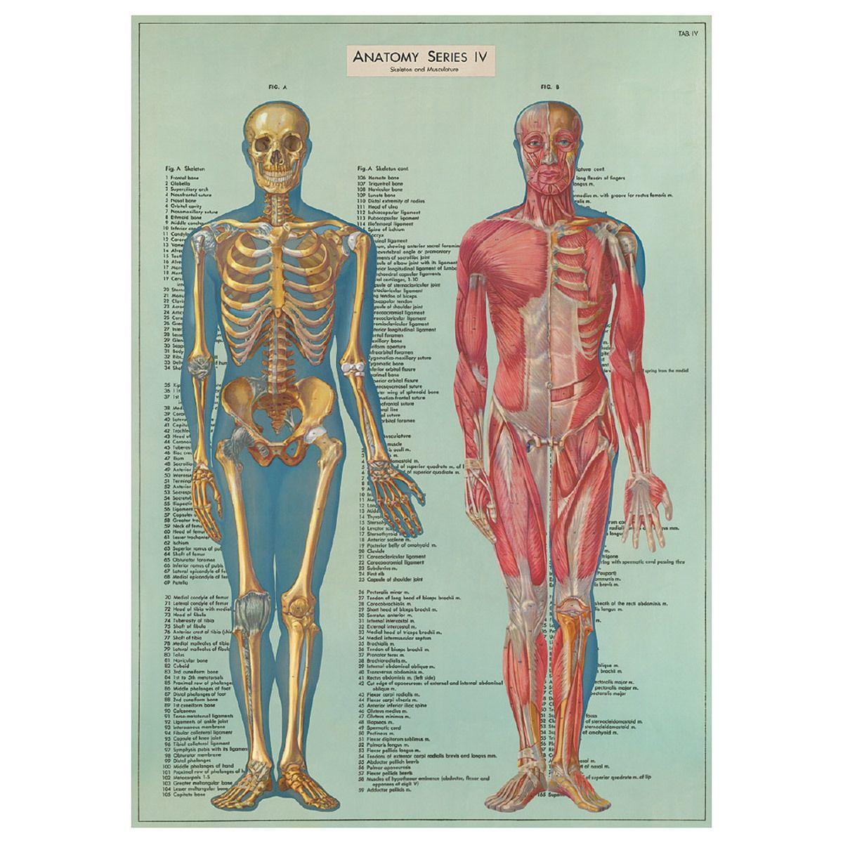 Human Anatomy Bones Muscles Vintage Style Poster Anatomy Bones Anatomy Poster