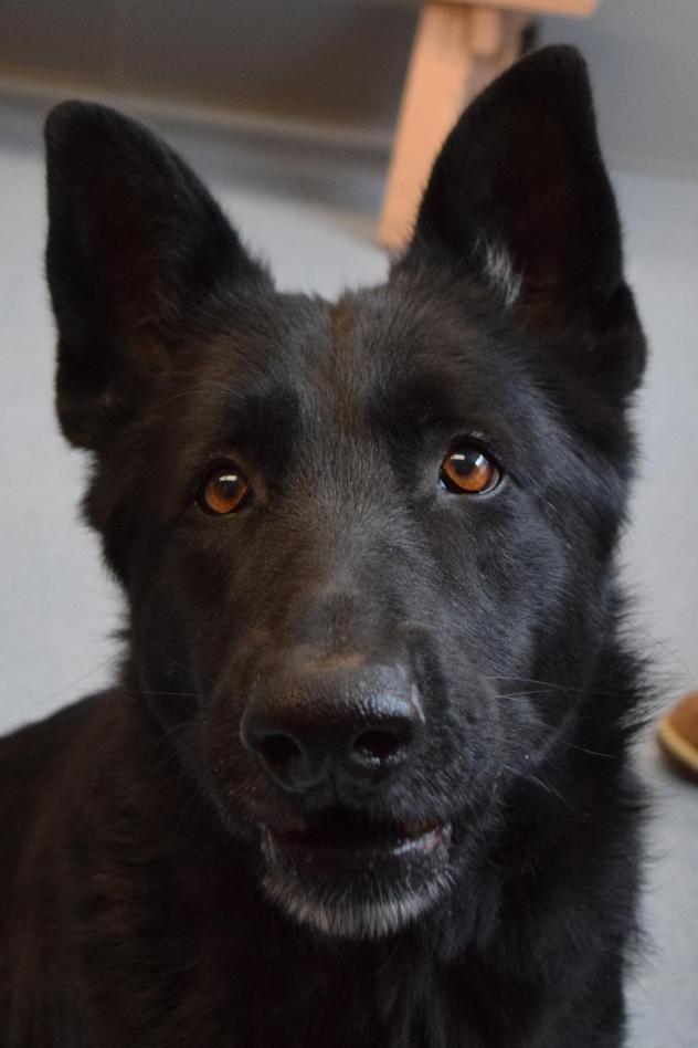 Adopt Delilah On German Shepherd Dogs Dog Breeds Medium German