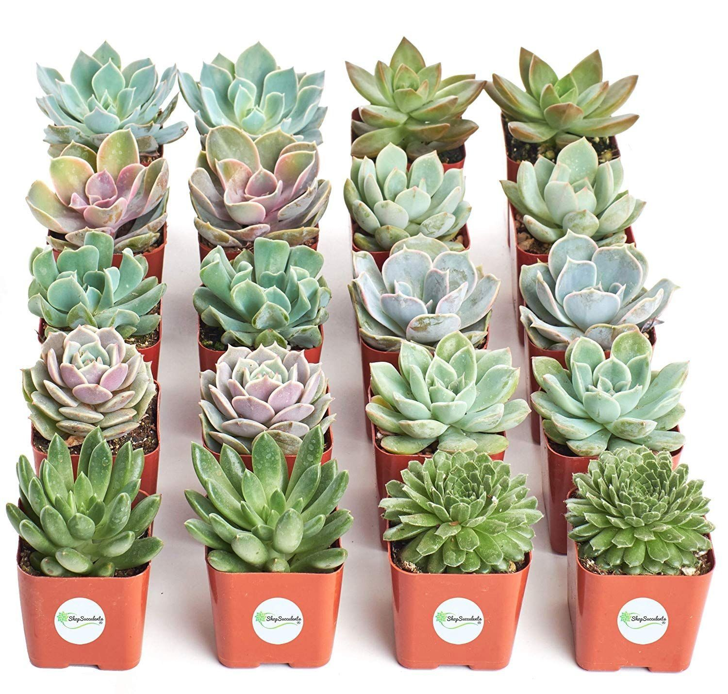 Home Botanicals Rosette Succulent Collection Of 20 Walmart Com 1000 In 2020 Succulents Large Succulent Plants Planting Succulents