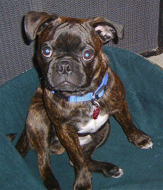 This Is A Type Of Dog Its A Mix With Pugs And Boston Terriers And