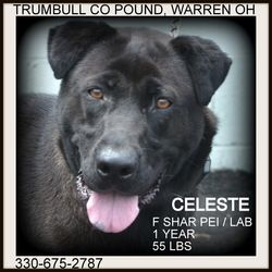 Adopt Celeste Prison Training Graduate On Animal Welfare League Homeless Pets Shar Pei Dog
